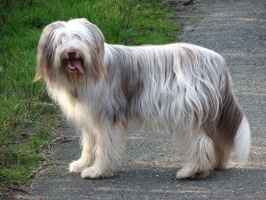 Bearded Collie Foto © marbla123 flickr.com